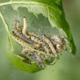 Gąsienicy webbed ćma w ich pajęczynach Obraz Stock