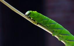 gąsienicy zieleń Obraz Royalty Free