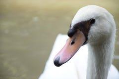 Gąska, Biała kaczka Fotografia Stock