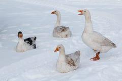 Gąska spacer na śniegu Obraz Stock