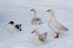 Gąska spacer na śniegu Obraz Royalty Free