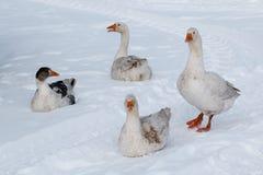 Gąska spacer na śniegu Zdjęcie Royalty Free