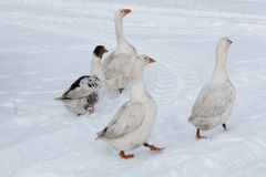 Gąska spacer na śniegu fotografia stock