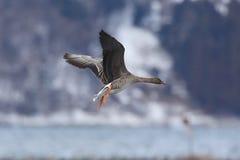 Gąska w lądowaniu Fotografia Stock