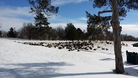 Gąski & śnieg w polu golfowym Zdjęcia Royalty Free