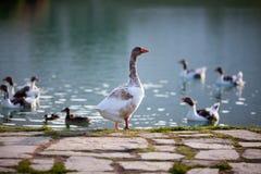 Gąski i kaczki na jeziorze Obraz Royalty Free