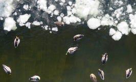 Gąski i kaczki na zimy rzece zdjęcie royalty free