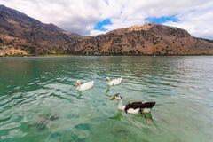 Gąski na powierzchni jeziorny Kournas przy wyspą Crete, Grecja Zdjęcie Royalty Free