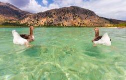 Gąski na powierzchni jeziorny Kournas przy wyspą Crete, Grecja Obraz Royalty Free