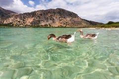 Gąski na powierzchni jeziorny Kournas przy wyspą Crete, Grecja Fotografia Stock