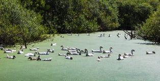 Gąski pływanie w bagnie Fotografia Stock