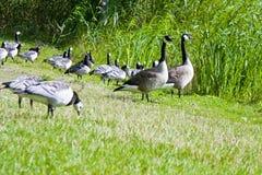 gąski parkują dzikiego Zdjęcie Royalty Free