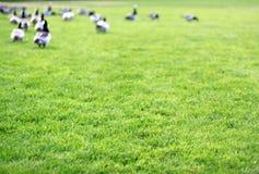 gąski trawa Zdjęcie Stock