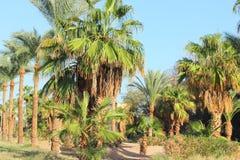 Gąszcze daktylowe palmy zdjęcie royalty free