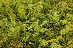 Gąszcze kwiatonośne łąki Fotografia Stock