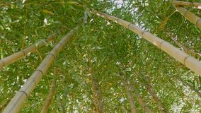 Gąszcze zielony bambus przeciw zbiory wideo