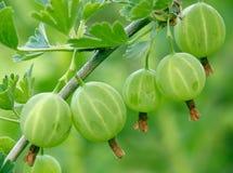 gęś jagodowa zdjęcia stock