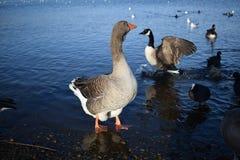 Gęgawa gąska Przy jeziorem Obraz Royalty Free