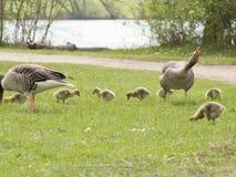 Gęgawe gąski z ich potomstwami w Niemcy (Anser Anser) Zdjęcia Stock