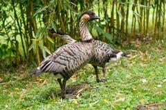 Gęgawej gąski ptak Obrazy Stock