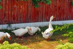 gęsi białe Fotografia Royalty Free