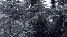 Gęsta świerczyna rozgałęzia się pełno olśniewający śnieg w Carpathians w mo zbiory