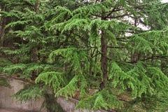 gęsta świerczyny zieleń obraz stock