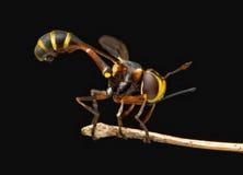 Gęsta Głowiasta komarnica zdjęcie stock