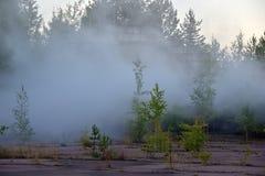 gęstej mgły sosna lasów Zdjęcia Royalty Free