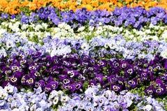 Gęsto uprawiany kolorowy Dziki pansy lub altówka tricolor mali dzicy kwiaty z jaskrawymi płatkami w różnorodnych kolorach zasadza zdjęcia stock