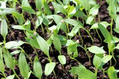 Gęsto uprawiany pieprzowy sadzonkowy dorośnięcie indoors Fotografia Stock
