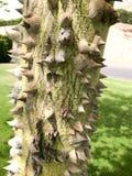 Gęsty bagażnik zielony naturalny naturalny okropny chorizion drzewo z ostrymi spiny cierniami i cierniami z barkentyną verdure po zdjęcia stock