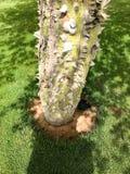 Gęsty bagażnik zielony naturalny naturalny okropny niebezpieczny drzewo, chorizion rośliny z ostrymi spiny cierniami i ciernie z  fotografia stock