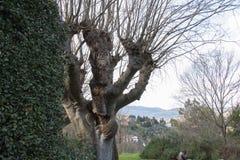 Gęsty bagażnika drzewo bez liści w Fiesole, Tuscany, Włochy zdjęcia stock