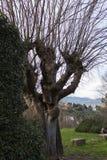 Gęsty bagażnika drzewo bez liści w Fiesole, Tuscany, Włochy fotografia royalty free