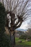 Gęsty bagażnika drzewo bez liści w Fiesole, Tuscany, Włochy obrazy royalty free