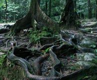 Gęsty drzewo zakorzenia podesłanie przez ziemię w tropikalnym lesie, zakończenie w górę widoku zdjęcie royalty free