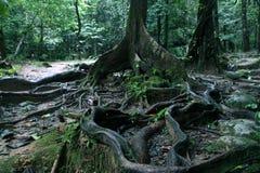 Gęsty drzewo zakorzenia podesłanie przez ziemię w tropikalnym lesie, zakończenie w górę widoku obrazy royalty free