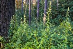 Gęsty dziki deciduous las nieprzebity gąszcz Lato Rosja zdjęcie stock