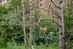 Gęsty dziki deciduous las nieprzebity gąszcz Lato Rosja obraz stock