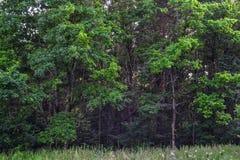 Gęsty dziki deciduous las nieprzebity gąszcz Lato Rosja obrazy stock