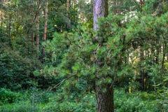 Gęsty dziki deciduous las nieprzebity gąszcz Lato Rosja zdjęcia stock
