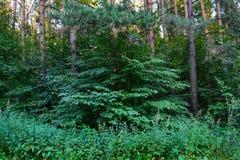 Gęsty dziki deciduous las nieprzebity gąszcz Lato Rosja zdjęcie royalty free
