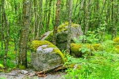 Gęsty dziki las w Norwegia w lecie zdjęcie royalty free