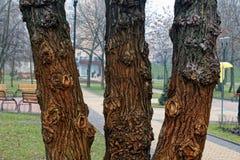 Gęsty moczy trzy drzewny bagażnik, zbliżenia tło zdjęcia royalty free