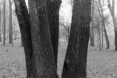 Gęsty mokry drzewny bagażnik z mech, zbliżenia tło, monochromatyczny wizerunek obrazy stock