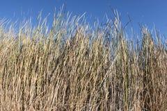 Gęsty przyrost Typha ożypałki z pogodnym niebieskim niebem obrazy stock