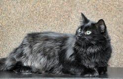 gęsty puszysty czarny kot fotografia royalty free