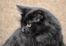 gęsty puszysty czarny kot obrazy royalty free