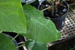 Gęsty roślina liść obrazy royalty free